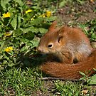 Red Squirrel by Elaine123