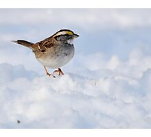 White-throated Sparrow on Snow Photographic Print