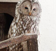 Ural Owl by Matt Powell