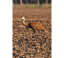 Sandhill Crane in Field Photographic Print