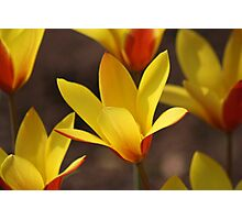 Yellow and Red Tulips opening in the spring sun Photographic Print