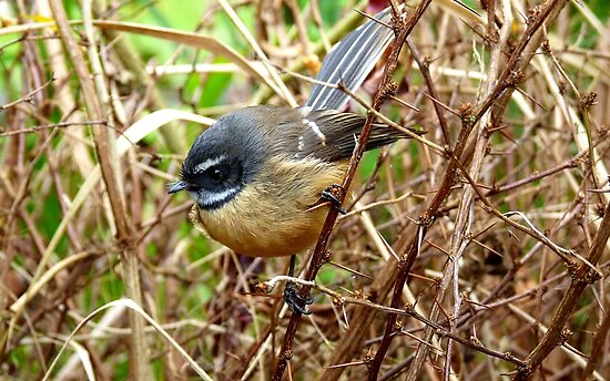 The Thorn Birds - Fantail on Thorny Branch - NZ by AndreaEL