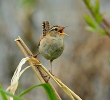 Marsh Wren by stemple2011