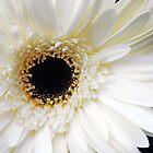 White Gerbera Daisy by Jennifer Hulbert-Hortman