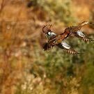 Cinnamon Teal Duck. by mikepemberton