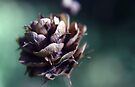 Tiny pine cone by homesick