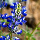 Lupine in Montana by amontanaview