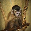 Calvin The Capuchin! by rasnidreamer