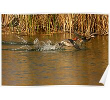 Red Head Male and Female ducks. Poster