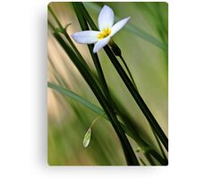 Solitary Bluet - In The Tall Meadow Grass Canvas Print