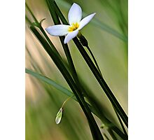 Solitary Bluet - In The Tall Meadow Grass Photographic Print