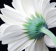 A Single White Gerbera Daisy by Jennifer Hulbert-Hortman