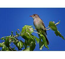 Willow Flycatcher Photographic Print