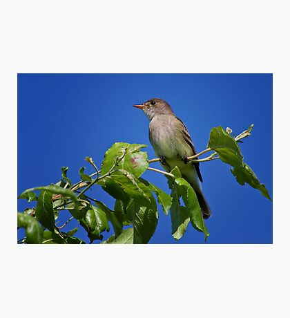 Willow Flycatcher Photographic Print