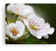 Pear Blossoms I Canvas Print