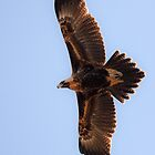 Wedge-Tailed Eagle by Cindy McDonald