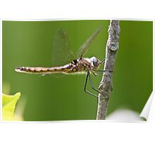 Beaver Pond Basket-tail Dragonfly Poster