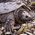 Common Snapping Turtle by naturalnomad