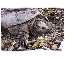 Common Snapping Turtle Poster