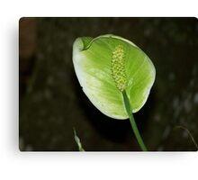 Spathiphyllum Canvas Print