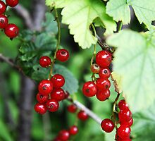 Choke Cherries by Alyce Taylor