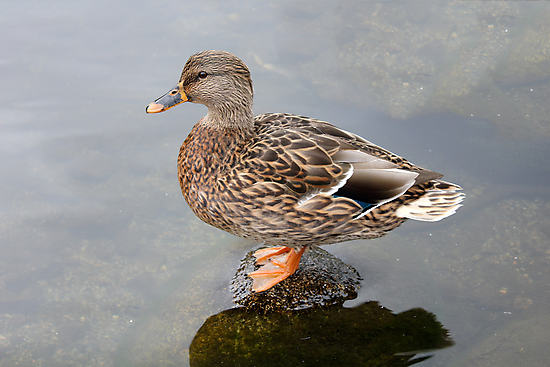 Spring Duck by fcphoto