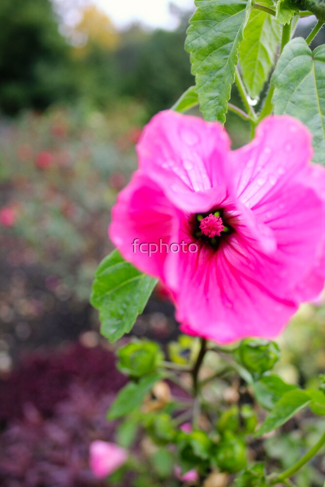 Pink flower star by fcphoto
