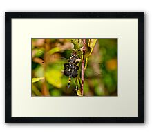 Black Saddlebag Dragonfly Framed Print