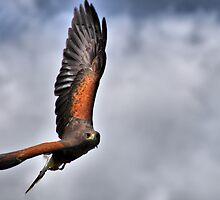 Harris Hawk by Mike Higgins