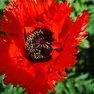 Memorable Poppy by Geraldine Miller