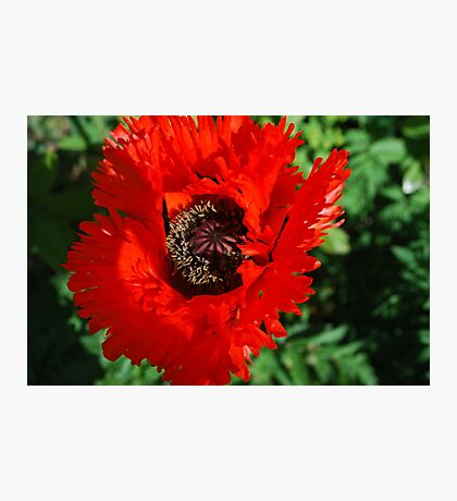 Memorable Poppy Photographic Print