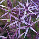 Star Flowers by Geraldine Miller