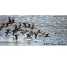 Flock of Pipers Photographic Print
