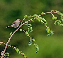 The Chiffchaff...A Closer View by VoluntaryRanger