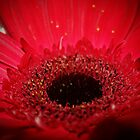 Red Gerbera Daisy by Becky Trudell