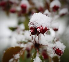 Snowed in Choke Cherry Blossom by Becky Trudell