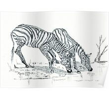 The puzzle about the Zebra's stripes Poster