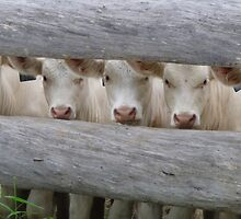 Curious Charolais Calves by KarinD