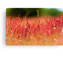 Red Heather  Canvas Print