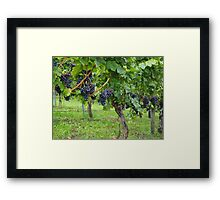 Grapevines At Harvest Framed Print