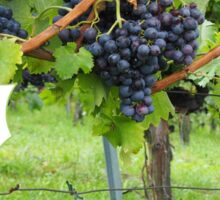 Grapevines At Harvest Sticker