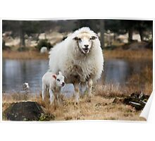 It is Spring - Mother Sheep with Lamb Poster