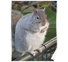 Fat Squirrel Poster