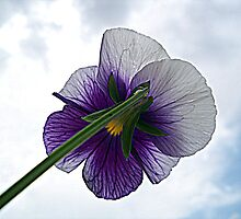 Viola tricolor (Wild pansy) by MONIGABI