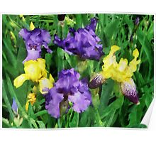 Yellow and Purple Irises Poster