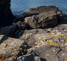 thrift clinging to the rocks by codaimages