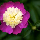 Peony in bloom at New York Botanical Garden by caitsings