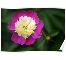 Peony in bloom at New York Botanical Garden Poster