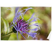 Mountain Bluet Beauty Poster