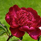Red Peony - NYBG Spanish Paradise Show by caitsings